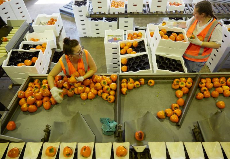 Sorting persimmons in packing shed